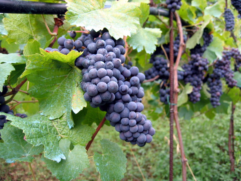 vineyard_busbank