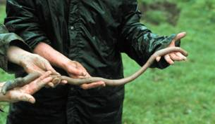 Australia, scoperto lombrico gigante lungo 90 cm