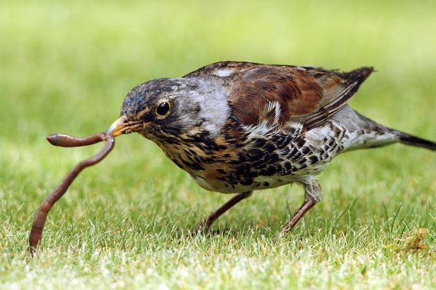 Carlo, allevatore di uccelli: conviene allevare lombrichi per alimentare i miei volatili?