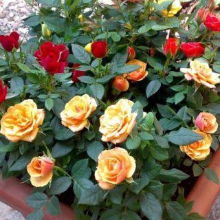 """Giampaolo, lombrichi per """"nutrire"""" le rose, può funzionare?"""